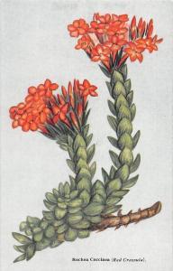 South Africa Flora Rochea Coccinea (Red Crassula) Red Flowers Fleurs
