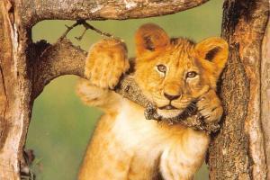 Africa, Kenya, Lion cub, David Keith Jones, Wild Animals, Fauna, Postcard