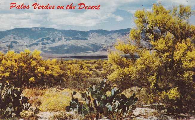 Palo Verde Trees on the Desert - The Great Southwest