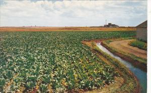 Irrigated Field Of Sugar Beets Columbia Basin Irrigation Project Washington