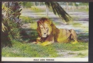 Male Lion Feeding Lion County Safari Postcard BIN
