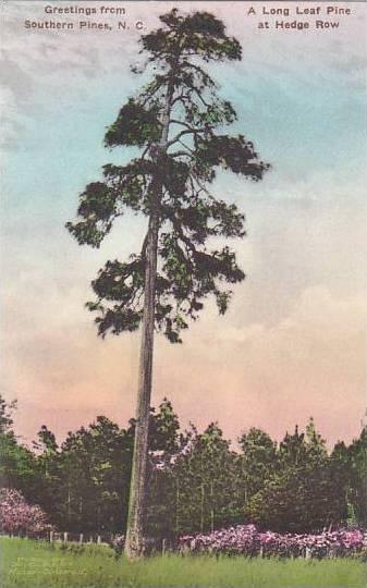 North Carolina Southern Pines Greetings From Along Leaf Pine At Hedge Row Alb...