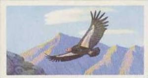 Brooke Bond Tea Vintage Trade Card Wildlife In Danger No 30 Californian Condor
