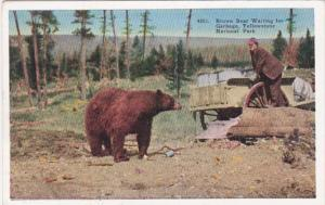 Yellowstone National Park Brown Bear Waiting For Garbage