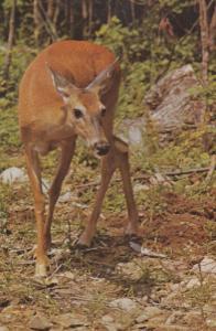 Deer In Algonquin Park Ontario Canada Canadian Postcard