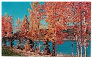 Postcard - Aspen Trees Along Lakeshore New York