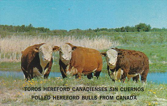 Polled Hereford Bulls From Canada / HipPostcard