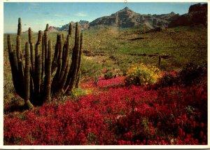 Arizona Organ Pipe National Monument Organ Pipe Cactus 1982