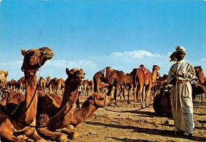 United Arab Emirates Camels Animals