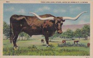 A Texas Long Horn Steer