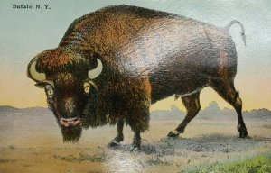 C. 1911 Buffalo, N.Y. New York Buffalo in Pasture Posted Postcard