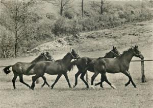 Horses herd postcard