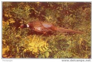 China Pheasant, Pre-zip code Chrome