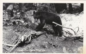 RP, WASHINGTON Native Bear Cub, 1930-40s Ellis 391