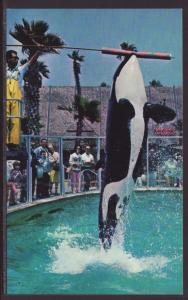 Shamu,Killer Whale,Sea World,San Diego,CA Postcard