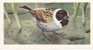 Trade Cards Brooke Bond Wild Birds in Britain No7 Reed Bunting
