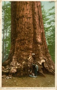 CA - Mariposa Grove. Grizzly Giant
