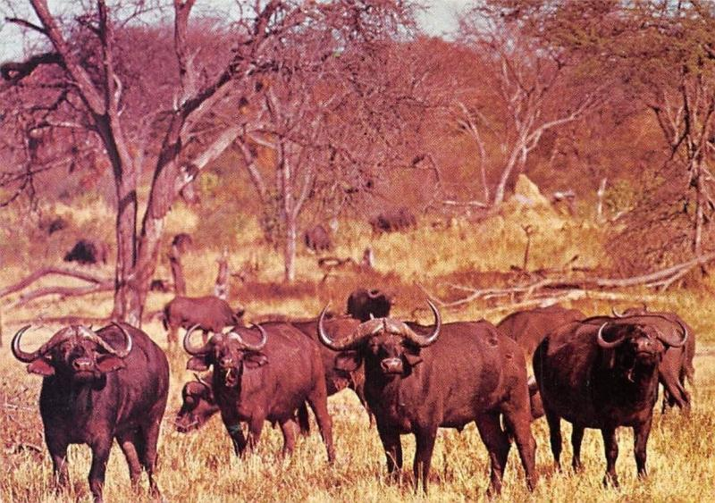 Zimbabwe Buffalo Hwange National Park Animaux