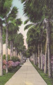 Florida Palm Beach Palm Trees Palmetto Walk Handcolored Albertype