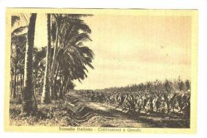 Somalia Italiana - Coltivazioni a Genale, 1910-30s