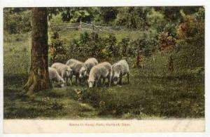 Sheep herd, Keney Park, Hartford, Conn, Pre 1907