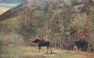 Moose in Banff National Park AB, Alberta, Canada - DB