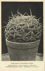 Cactus Cactaceae, Echinocactus Ourselianus Monville (1920s) Otto Stoye Postcard