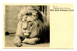 Barbary Lion Sultan