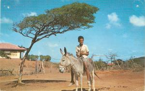 Boy on do key. Dividi Tree, Curacao Nice American Postcard 1960s