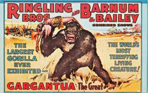 RINGLING BROTHERS BARNUM BAILEY~GARGANTUA-LARGEST GORILLA  EXHIBITED POSTCARD