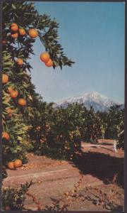 Oranges,San Bernardino,CA Postcard
