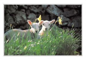Large Format Postcard Spring Lambs by Stirling Gallery Publications #293