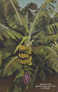 Florida Banana Tree Showing Bud and Fruit Curteich