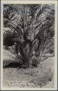 YOUNG PALM TREE CHOCELLA RPPC CALIFORNIA DESERT