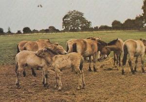 Przewalski's Wild Horse Horses Marwell Zoo Zoological Park Winchester Postcard