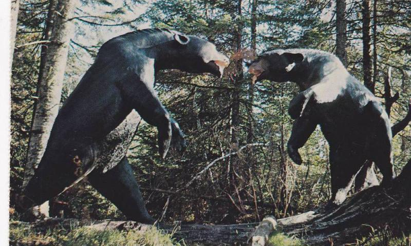 Fighting Bears of ANIMALAND , Sussex , New Brunswick , Canada , 1988