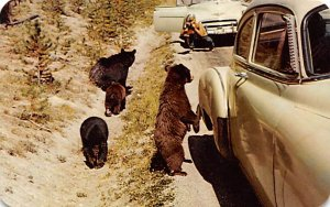 Bear Post Card Bear Beggars Yellowstone National Park, WY, USA 1962 Missing S...
