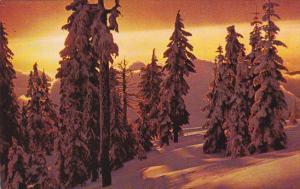 Canada Snow Ladden Pines Against Winter Sunset British Columbia