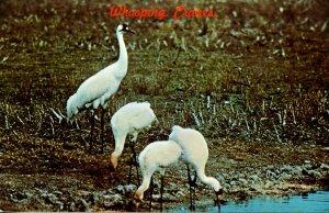 TX - Aransas National Wildlife Refuge. Whooping Cranes