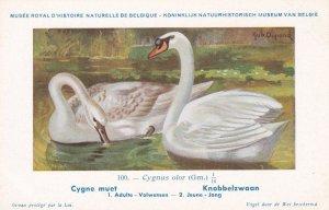 Mute Swan Cygnus Olor Bird Antique Rare Postcard