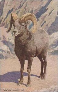NY New York City Zoological Park Big Horn Mountain Sheep 1921