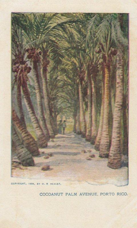 Cocoanut Palm Avenue , PORTO RICO , 1904