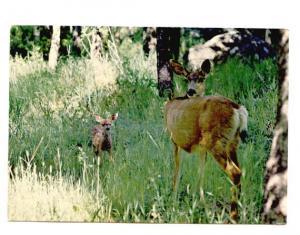 Mule Deer Doe and Fawn,