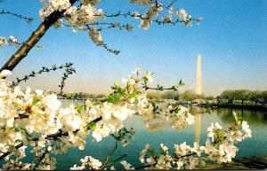 Washington D C Washington Monument and Cherry Blossoms 1998
