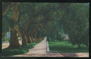 Famed Marengo Ave Pasadena California overhung by Pepper Trees Vintage Postcard