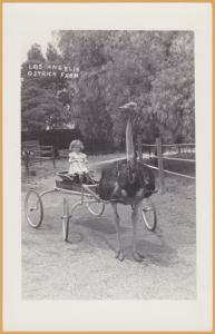 RPPC-Los Angeles, Calif., Los Angeles Ostrich Farm - Little Girl Driving Ostrich