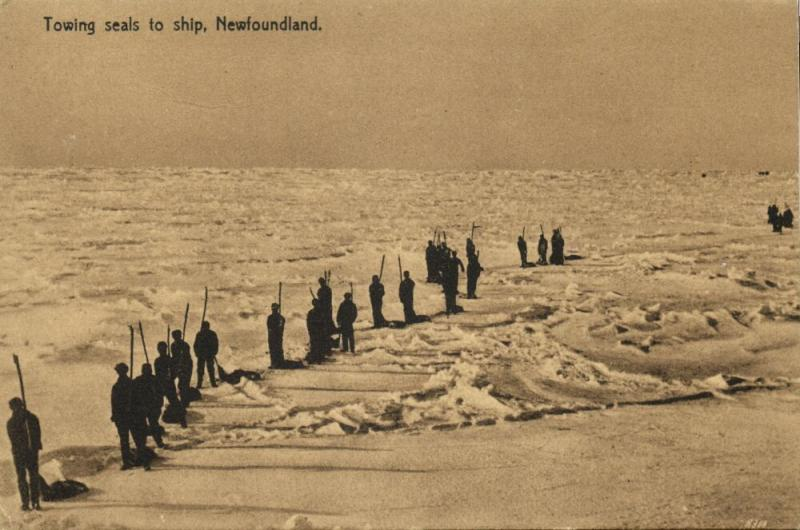 canada, Newfoundland, Towing Seals to Ship (1910s) Postcard