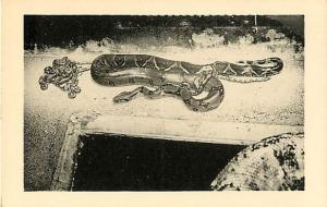 W/B South American Boa & Babies San Diego Zoo CA, snake