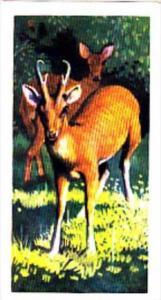 Brooke Bond Trade Card Asian Wildlife No 39 Muntjak