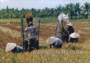 Vietnam, Viet Nam,  Nhân Vật  Mua Gat, Harvest